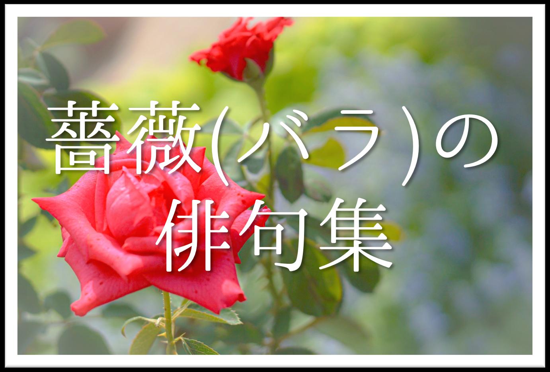 【薔薇(ばら)の俳句 20選】知っておきたい!!季語を含むおすすめ有名&素人俳句を紹介