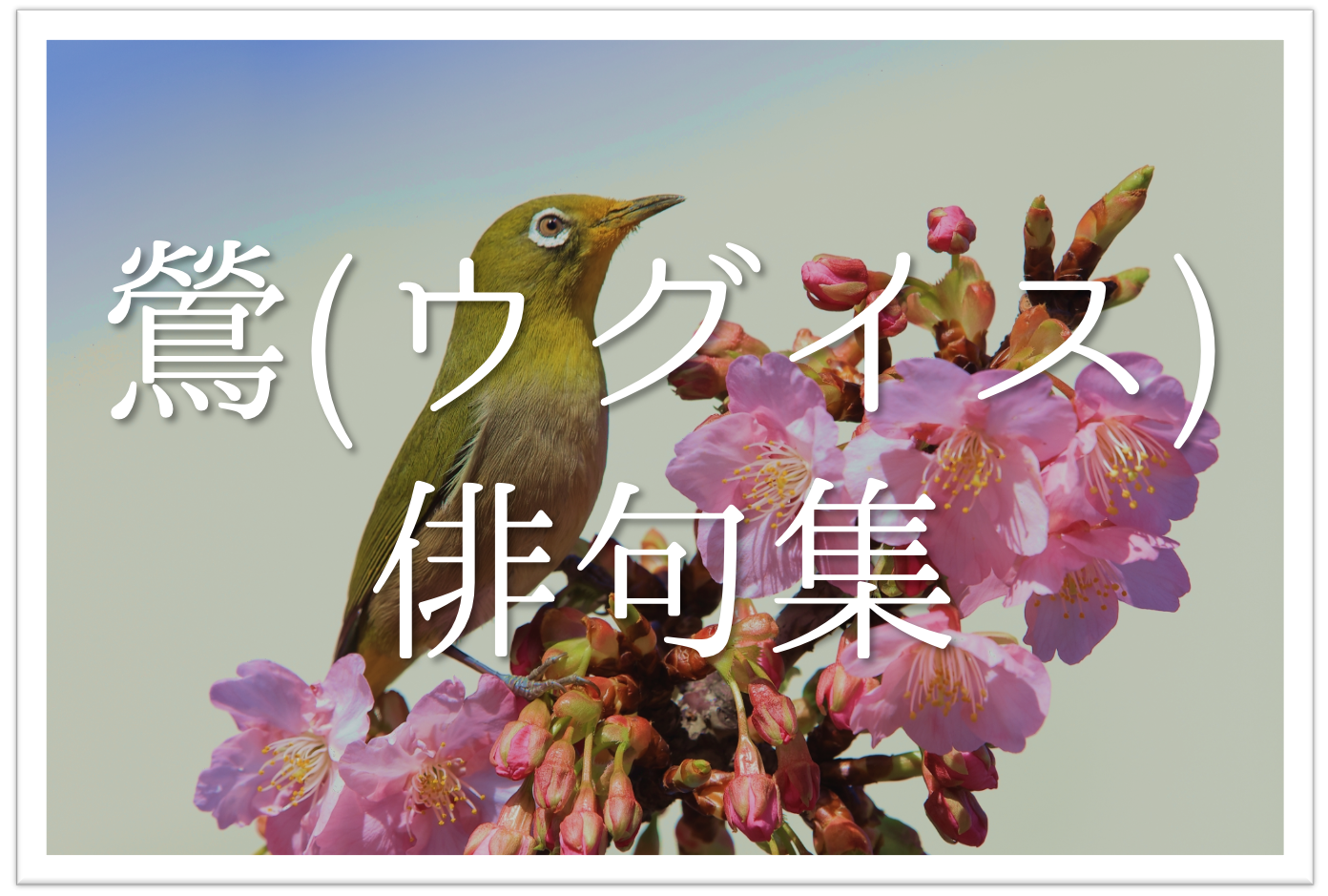 【鶯(ウグイス)の俳句 20選】知っておきたい!!季語を含むおすすめ有名&素人俳句を紹介